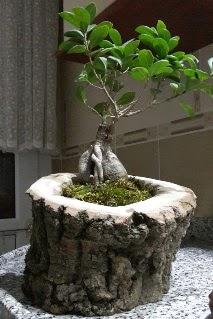 Ahşap kütük içerisinde ginseng bonsai  İsparta internetten çiçek siparişi