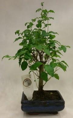 Minyatür bonsai japon ağacı satışı  İsparta çiçekçi telefonları