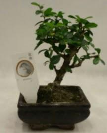 Küçük minyatür bonsai japon ağacı  İsparta çiçek gönderme