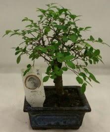 Minyatür ithal japon ağacı bonsai bitkisi  İsparta çiçek satışı