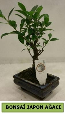Bonsai japon ağacı saksı bitkisi  İsparta çiçek servisi , çiçekçi adresleri