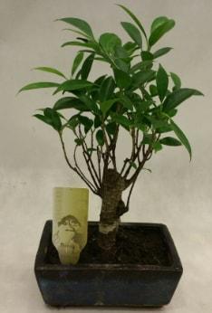 Japon ağacı bonsai bitkisi satışı  İsparta çiçekçi telefonları