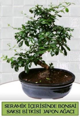 Seramik vazoda bonsai japon ağacı bitkisi  İsparta çiçek siparişi sitesi