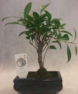 Bonsai japon ağacı bitkisi satışı  İsparta çiçek gönderme sitemiz güvenlidir