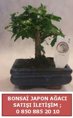 Japon ağacı minyaür bonsai satışı  İsparta çiçek satışı