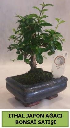İthal japon ağacı bonsai bitkisi satışı  İsparta çiçekçi telefonları