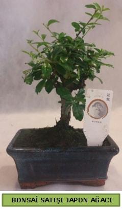Minyatür bonsai ağacı satışı  İsparta çiçek gönderme