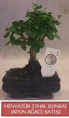 Küçük görsel bonsai japon ağacı bitkisi  İsparta çiçek , çiçekçi , çiçekçilik