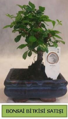 Bonsai ithal görsel minyatür japon ağacı  İsparta ucuz çiçek gönder