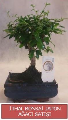 İthal küçük boy minyatür bonsai ağaç bitkisi  İsparta çiçekçi telefonları