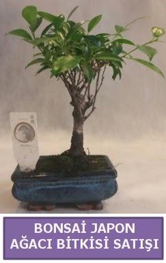 İthal Bonsai japon ağacı bitkisi satışı  İsparta İnternetten çiçek siparişi