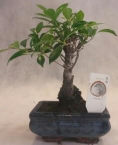 Bonsai ağacı japon ağaç bitkisi  İsparta çiçek yolla