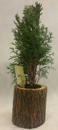 SINIRLI STOK Selvi Bonsai Doğal kütükte  İsparta İnternetten çiçek siparişi