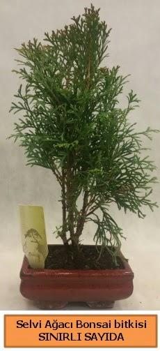 Selvi ağacı bonsai japon ağacı bitkisi  İsparta çiçek satışı