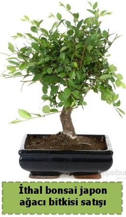 İthal bonsai saksı çiçeği Japon ağacı satışı  İsparta İnternetten çiçek siparişi