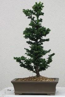Çam ağacı bonsai bitkisi satışı  İsparta çiçekçi telefonları