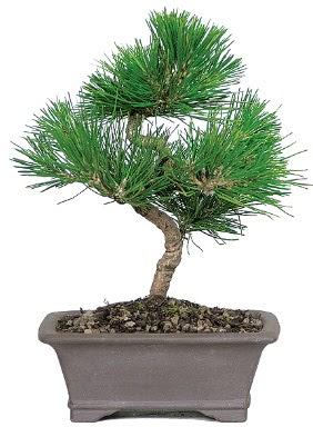 Çam ağacı bonsai japon ağacı bitkisi  İsparta çiçek gönderme