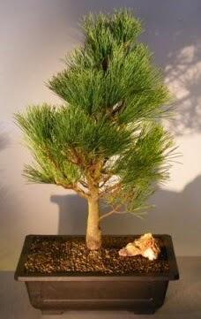 Çam ağacı japon ağacı bitkisi bonsai  İsparta çiçekçi telefonları