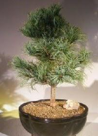 Çam ağacı bonsai bitkisi satışı  İsparta ucuz çiçek gönder