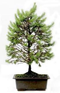 *** STOKTA YOK - Çam ağacı bonsai bitkisi satışı  İsparta cicekciler , cicek siparisi