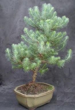 Bonsai çam ağacı japon ağacı bitkisi  İsparta çiçek gönderme sitemiz güvenlidir