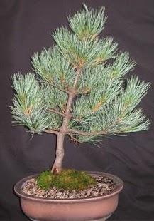 Bonsai çam ağacı japon ağacı bitkisi  İsparta çiçek siparişi sitesi