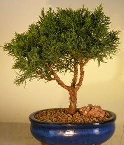 Servi çam bonsai japon ağacı bitkisi  İsparta çiçek yolla
