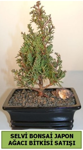 Selvi çam japon ağacı bitkisi bonsai  İsparta çiçekçi telefonları