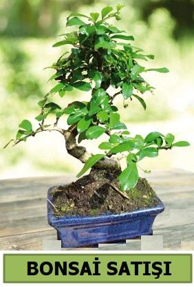 Çam bonsai japon ağacı satışı  İsparta çiçek satışı