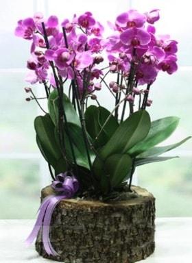 Kütük içerisinde 6 dallı mor orkide  İsparta ucuz çiçek gönder