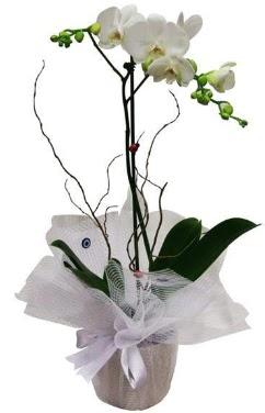 Tek dallı beyaz orkide  İsparta cicek , cicekci