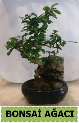 Bonsai ağacı japon ağacı satışı  İsparta hediye çiçek yolla