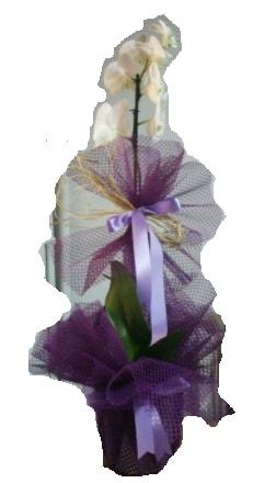 Tek dallı beyaz orkide süper kalite ithal  İsparta çiçek siparişi sitesi