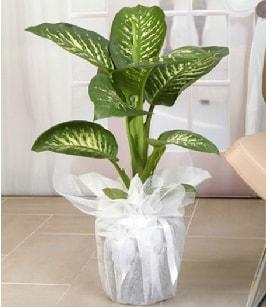 Tropik saksı çiçeği bitkisi  İsparta çiçek satışı