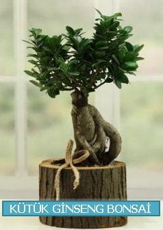 Kütük ağaç içerisinde ginseng bonsai  İsparta çiçek gönderme sitemiz güvenlidir