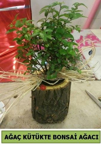 Doğal ağaç kütük içerisinde bonsai ağacı  İsparta çiçek gönderme sitemiz güvenlidir