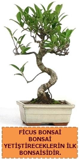Ficus bonsai 15 ile 25 cm arasındadır  İsparta çiçek yolla