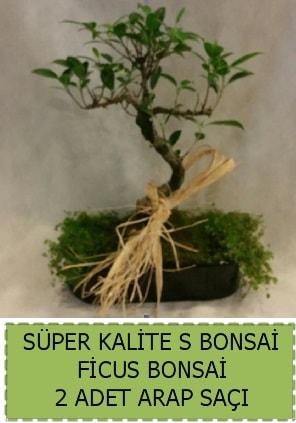 Ficus S Bonsai ve arap saçı  İsparta çiçekçi telefonları