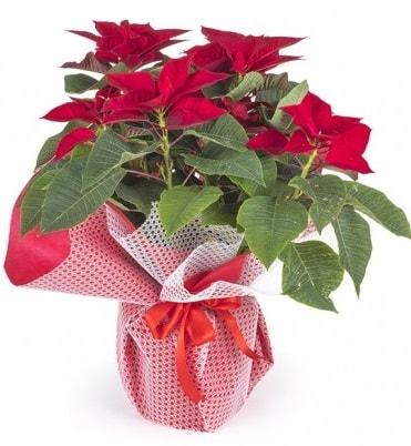 Atatürk çiçeği saksı bitkisi  İsparta çiçek gönderme sitemiz güvenlidir