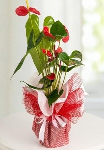 Anthurium Saksı Çiçeği  İsparta hediye çiçek yolla