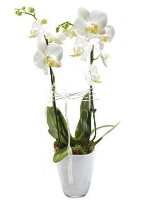 2 dallı beyaz seramik beyaz orkide saksısı  İsparta çiçek gönderme sitemiz güvenlidir