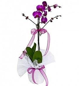 Tek dallı saksıda ithal mor orkide çiçeği  İsparta çiçekçiler