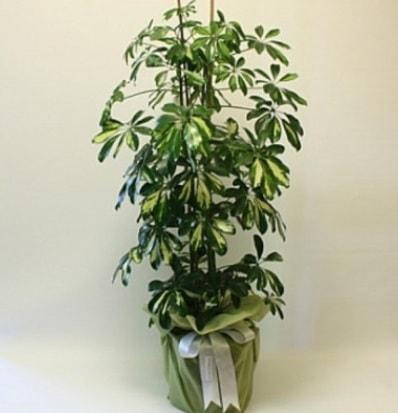 Şeflera salon bitkisi  İsparta çiçek gönderme