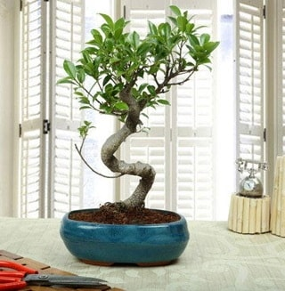 Amazing Bonsai Ficus S İthal  İsparta internetten çiçek siparişi