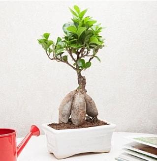 Exotic Ficus Bonsai ginseng  İsparta çiçek servisi , çiçekçi adresleri