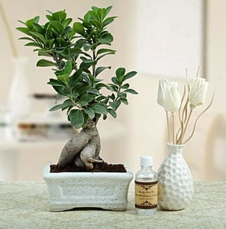Ginseng ficus bonsai  İsparta çiçekçiler