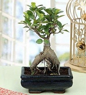 Appealing Ficus Ginseng Bonsai  İsparta anneler günü çiçek yolla