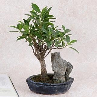 Japon ağacı Evergreen Ficus Bonsai  İsparta çiçek gönderme sitemiz güvenlidir