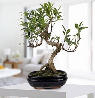 Gorgeous Ficus S shaped japon bonsai  İsparta yurtiçi ve yurtdışı çiçek siparişi