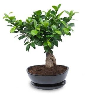 Ginseng bonsai ağacı özel ithal ürün  İsparta internetten çiçek satışı